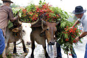 O cortejo que sairá de São Domingos é acompanhado por uma  junta de bois. Foto: Edson Reis