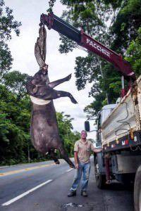 Animal precisou ser retirado por guindaste. Foto: Divulgação / Últimos Refúgios