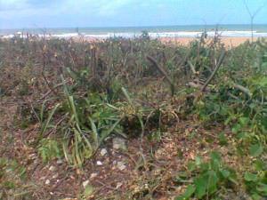 A 'poda' fragilizou a vegetação da praia que ajuda a proteger a desova de tartarugas, entre outras espécies que dependem da saúde da restinga. Foto: Claudiney Rocha