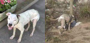A cadela está perdida desde o último dia 09 e precisa continuar o tratamento. Foto: Divulgação