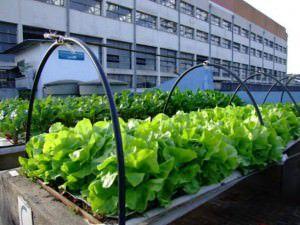 Todos os alimentos cultivados serão doados. Foto: Divulgação