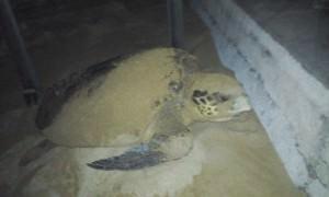 O animal é da especie cabeçuda (caretta caretta). Foto: Divulgação / Claudiney Rocha
