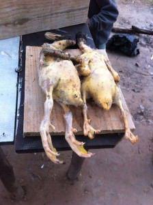 Os patos foram mortos menos de 24 horas depois de chegarem a lagoa. Foto: Divulgação leitor