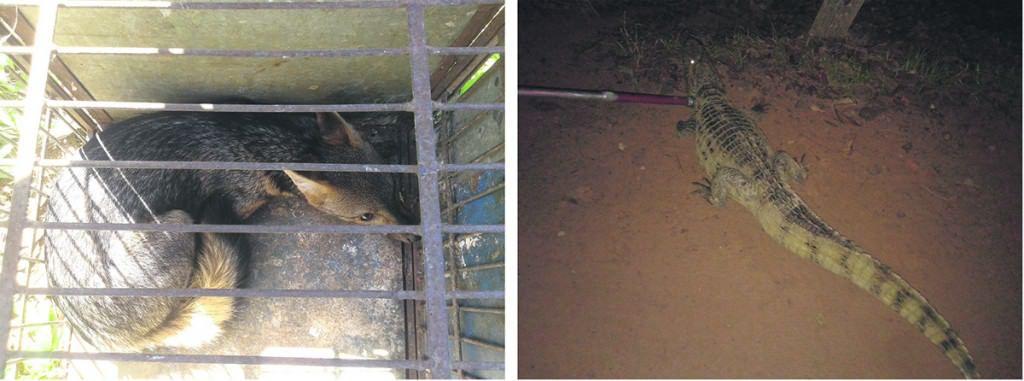 A raposa foi encontrada em Viana e o jacaré em Cariacica. Foto: Divulgação Policia Ambiental