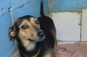 A cadela Preta é uma das que estará na feira. Ela é castrada, vacinada e tem cerca de dois anos. Foto: Divulgação