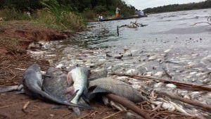 Há milhares de peixes mortos, tanto de água doce quanto de água salgada, nas margens da lagoa. Foto: Bruno Lyra