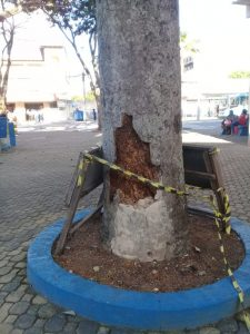 Moradora teme queda de palmeira em Serra Sede