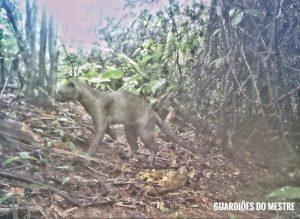 Câmera flagra gato-mourisco rondando mata do Mestre Álvaro