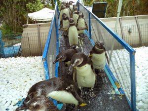 Você sabe como agir se encontrar um pinguim nas praias capixabas?