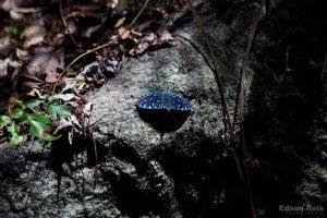Espécie incomum de borboleta é encontrada no Mestre Álvaro